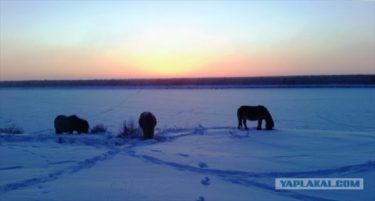 氷点下52度でも元気なヤクートの馬