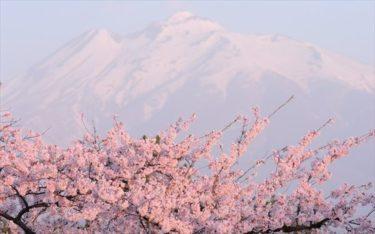 日本で桜が咲いた!俳句と一緒に楽しもう!ロシア語訳された桜の俳句を紹介します!