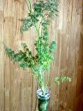 家庭用 ハーブの水耕栽培キット「窓際族」(窓辺でディル)