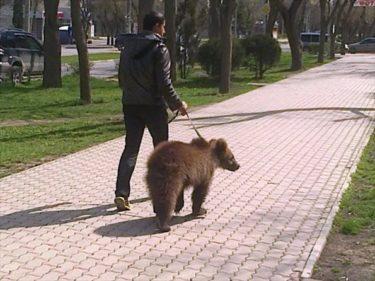 ちょっとクマの散歩行ってくる!ロシアの日常風景?クマの散歩が日常っておそロシア