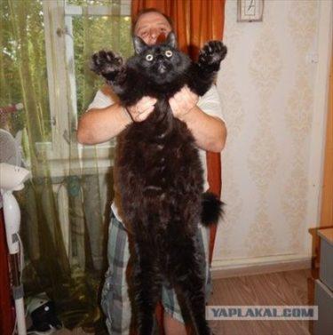 巨匠とマルガリータのべへモートのような巨大黒ネコ、マクシムス君